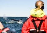 Kleingruppen-Walbeobachtung von Akureyri aus