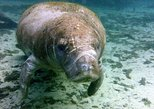 Crystal River Manatee Swimming and Snorkel Small-Group Tour