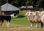 Akaroa Shore Excursion: Akaroa Harbour & Sheep Farm Local Tour