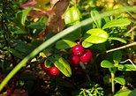 Hiking and Harvesting Berries