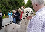Hilltop Farm Alpacas. Visit and bring some of our alpacas for a stroll