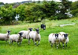 An Irish sheepdog experience on a traditional sheep farm. Sligo. Guided. 1 hour