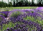 USA - Washington: Lavender Farm; Day Tour from Seattle to Sequim WA.