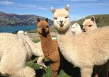 Akaroa Cruise - highlights and 1 hr Alpaca Experience - 1/2 day private tour **