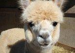 Behind The Scenes Alpaca Farm Tour