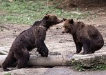 Bear watching experience near Brasov