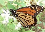 Monarch Butterfly Group Tour