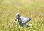 1 day Shoebill Birding Photographic Safari