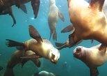 Sea Lions Snorkeling