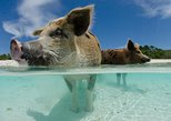 Day Cruise to Bahamas Pig Beach