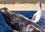 Mexico - Baja California Sur: Humpback Whale Watching in Cabo San Lucas