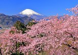 Early-blooming Cherry Blossom, Play in the Snow at Mt. Fuji & Strawberry Picking