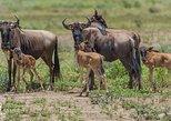 Calving Season Ndutu & Migration Safari | 8 Days