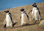 Excursion to Isla Magdalena Penguin Colony: navigation and walking in the island