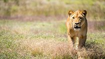Lions at Bedtime and a day at Monarto Zoo, Adelaide, Zoo Tickets & Passes