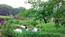 Japanese Red-Crowned Crane Observation Tour Summer - March to October -, Hokkaido, Cultural Tours