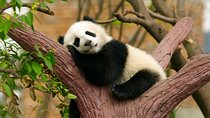 Private Tour: Be a Panda Volunteer for One Day at Dujiangyan Giant Panda Center, Chengdu, Nature &...