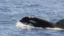 Saint Lucia Whale and Dolphin Safari, St Lucia, Dolphin & Whale Watching