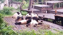 All Inclusive Private Day Trip to Chengdu Giant Panda Base and Leshan Giant Buddha Trip by...