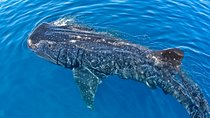 Swim with Whale Sharks from Playa del Carmen, Cancun