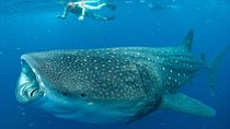 Whale Sharks tour in Cancun & Riviera Maya: Small-Group Eco Friendly, Cancun