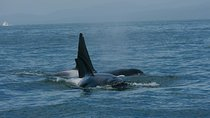 Vancouver Whale Watching Safari Tickets