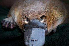 Imagen Meet a Platypus at Healesville Sanctuary