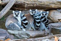 Imagen Adelaide Zoo Behind the Scenes Experience: Lemur Feeding