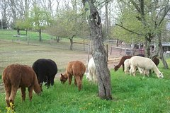 Banner Elk North Carolina Alpaca Farm Tour at Apple Hill Farm 10587P1