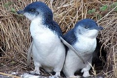 Imagen Half Day Phillip Island and Penguins Tour