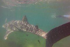 Activities,Adventure activities,Adrenalin rush,Whale Shark Snorkel