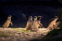 Imagen Small-Group Phillip Island Penguin Parade Day Trip from Melbourne Including Moonlit Sanctuary