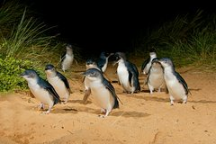 Imagen Phillip Island Wildlife Tour and Penguin Parade Afternoon Departure from Melbourne