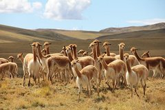 Imagen Half-Day Pampa Galeras Reserve Tour from Nazca