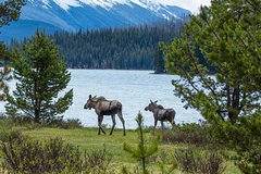 Jasper Canadian Rockies Jasper Wildlife and Waterfalls Tour with Maligne Lake Hike 5400P13