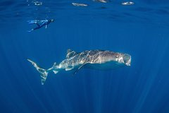 Imagen Private Whale Shark or Humpback Whale Swimming Tour