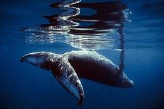 Hervey Bay Swim-With-Whales Impact Study