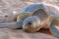 Imagen Sunset Turtle Sighting on Bare Sand Island from Darwin