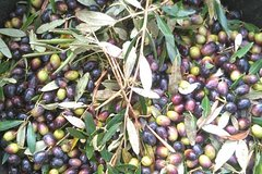 Olive Oil Making Experience Day Trip from Alberobello or Brindisi