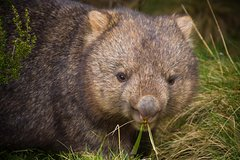 Imagen Cradle Mountain Wildlife Spotting after Dark