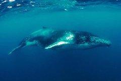 Imagen Humpback Whale Swim Tour