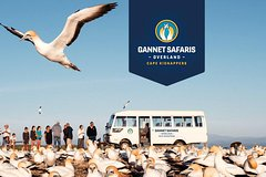 Imagen Gannet Safaris Overland tour to Cape Kidnappers Gannet Colony