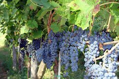 Vineyard Tour at one of the most famous wine-production centres in the Amalfi C.