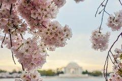 Washington DC Cherry Blossom Secrets Stroll