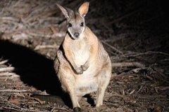 Small-Group Kangaroo Island 4WD Night Tour