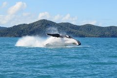 Imagen Whitsundays Whale Watching Cruise from Airlie Beach