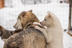 Lapland Husky Safari from Saariselkä