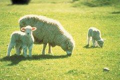 Imagen Akaroa Shore Excursion: Banks Peninsula, Christchurch City Tour and Sheep Farm Tour