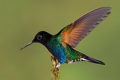 Imagen Hummingbird Expedition  - PRIVATE PHOTO TOUR, all included