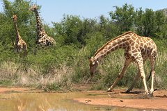 A Safari in Pilanesberg